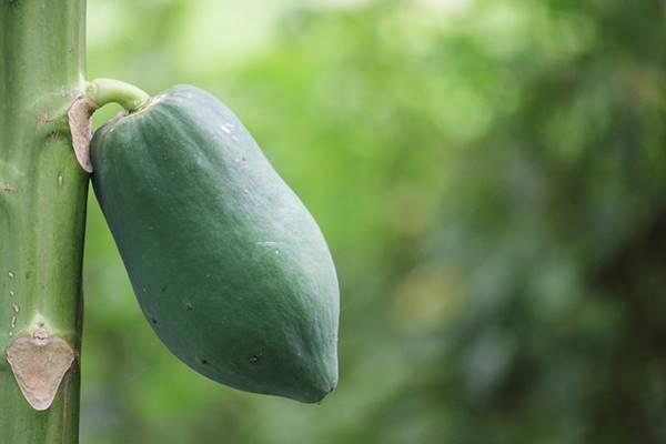 Chia sẻ 4 cách chữa đau lưng bằng quả đu đủ xanh